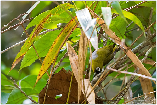 Black-capped White-eye .. Maybe being upside down is better?