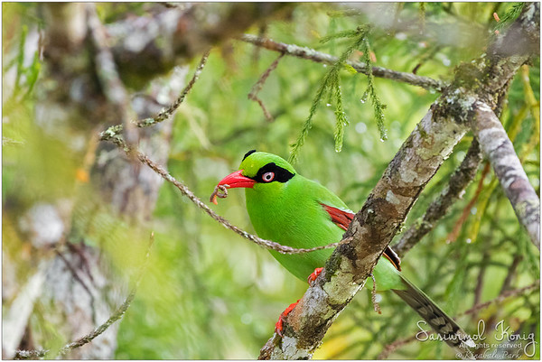 Bornean Green Magpie with its breakfast. Rumor has it, the early bird catches the worm!