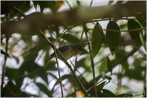 Was quite foggy at that moment but I managed to capture an unclear photo of Mountain leaf warbler