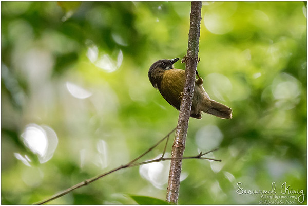 Grey-throated Babbler with strong muscle