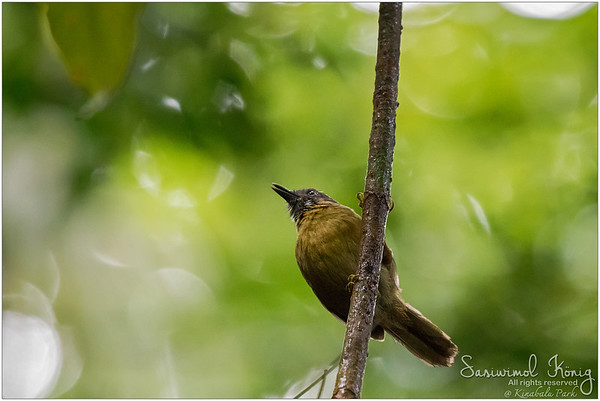 Grey-throated Babbler on a branch