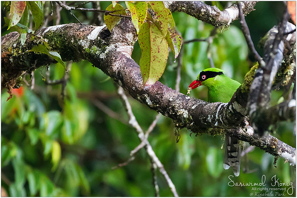 Bornean Green Magpie enjoyed its brekkie
