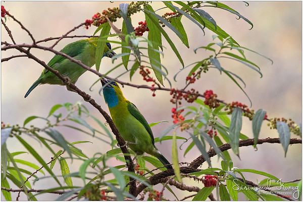 Golden-naped barbet on Orange wild Rhea tree