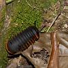 Pill millipedes, Glomeridae<br /> 2297, Gunung Mulu National Park, Sarawak, East Malaysia, April 18, 2016