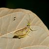 Ephemeroptera sp. Mayfly<br /> 2826, Gunung Mulu National Park, Sarawak, East Malaysia, April 20, 2016