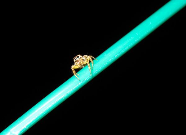 Jumping spider — Kota Kinabalu, Sabah, Borneo, Malaysia