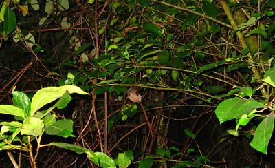 A bat! Kota Kinabalu, Malaysia