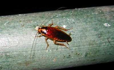 A roach finds a tasty treat — Kota Kinabalu, Malaysia
