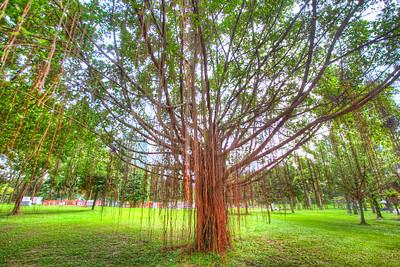 Tree in Kuala Lumpur City Centre Park, KL, Malaysia