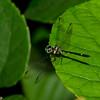 Tetrathemis platyptera male, Libellulidae<br /> 3023, Gunung Mulu National Park, Sarawak, East Malaysia, April 20, 2016