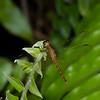 Pantala sp. Libellulidae, Anisoptera<br /> 1871, Bako National Park, Sarawak, East Malaysia, April 14, 2016