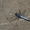 Orthetrum glaucum male, Libellulidae, Common blue skimmer<br /> 2060, Kubah National Park, Sarawak, East Malaysia, April 16, 2016