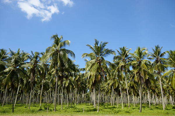 Rows and rows of Coconut trees