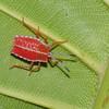 Pycanum rubens nymph , Tessaratomidae, Punaise phytophage, Giant Stink bug<br /> 3284, Miri, Sarawak, East Malaysia, April 22, 2016