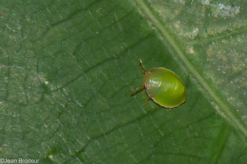 Brachyplatys subaenus nymp, Shield bug, Plataspidae<br /> 3549, MacRitchie Reservoir Park, Singapore, April 25, 2016