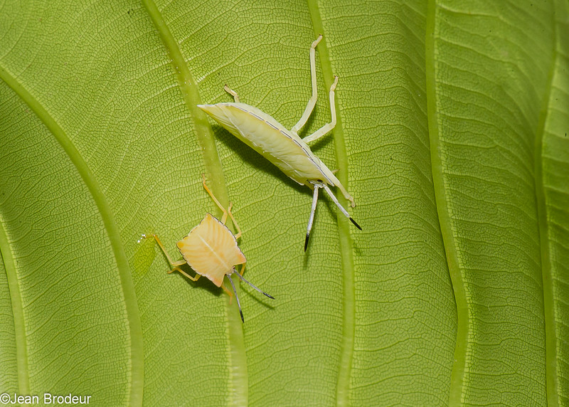 Pycanum rubens nymph , Tessaratomidae, Punaise phytophage, Giant Stink bug<br /> 3305, Miri, Sarawak, East Malaysia, April 22, 2016