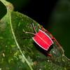 Pycanum rubens nymph , Tessaratomidae, Punaise phytophage, Giant Stink bug<br /> 2433, Gunung Mulu National Park, Sarawak, East Malaysia, April 18, 2016