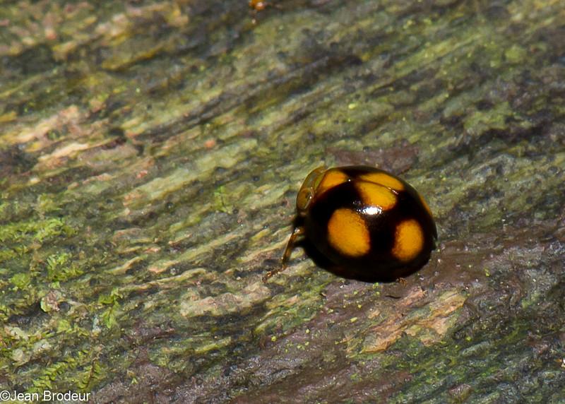 Hemisphaerius sp. Pill-like planthopper, Issidae, Hemiptera<br /> 2567, Gunung Mulu National Park, Sarawak, East Malaysia, April 19, 2016