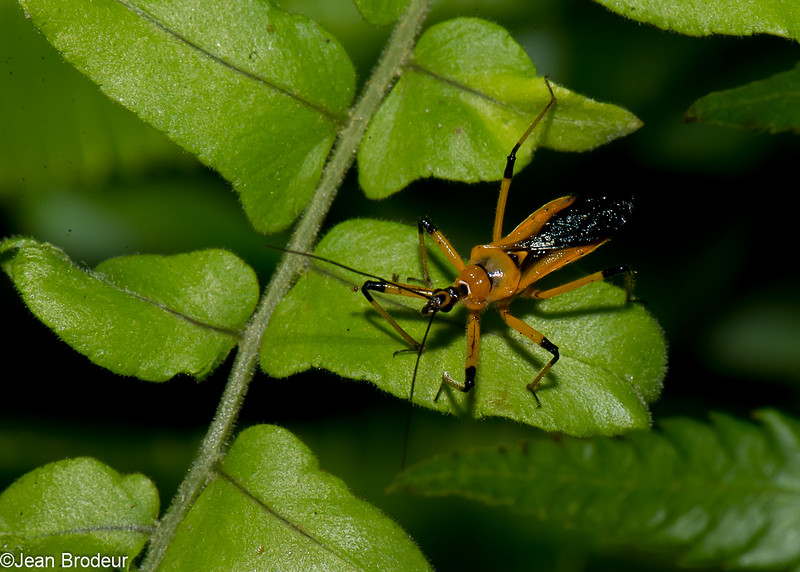 Cosmolestes picticeps ,  Yellow assassin Bug, Reduviidae, Hemiptera<br /> 1635, Bako National Park, Sarawak, East Malaysia, April 13, 2016