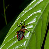 Reduviidae sp. Assassin Bug<br /> 2413, Gunung Mulu National Park, Sarawak, East Malaysia, April 18, 2016