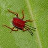 Pycanum rubens nymph , Tessaratomidae, Punaise phytophage, Giant Stink bug<br /> 3523, Miri, Sarawak, East Malaysia, April 24, 2016