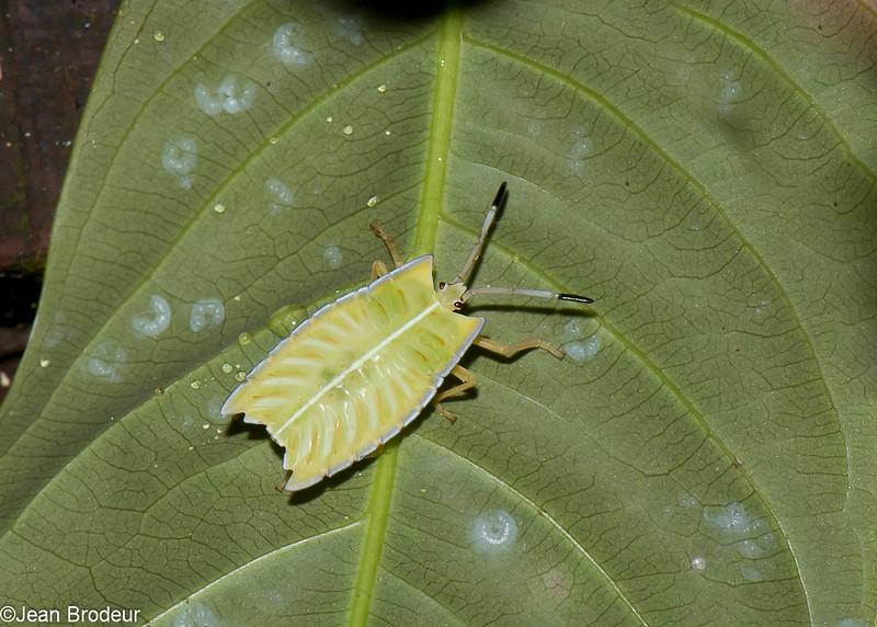 Pycanum rubens nymph , Tessaratomidae, Punaise phytophage, <br /> 3011, Gunung Mulu National Park, Sarawak, East Malaysia, April 20, 2016