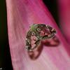 Planthopper sp. Ricaniidae, Hemiptera<br /> 0502, Cameron Highlands, Pahang, West Malaysia, April 7, 2016