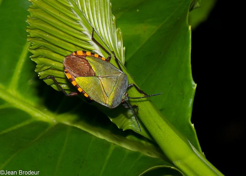 Pycanum rubens female , Eusthenaria, Tessaratomidae, Punaise phytophage, Stink bug<br /> 3307, Miri, Sarawak, East Malaysia, April 22, 2016