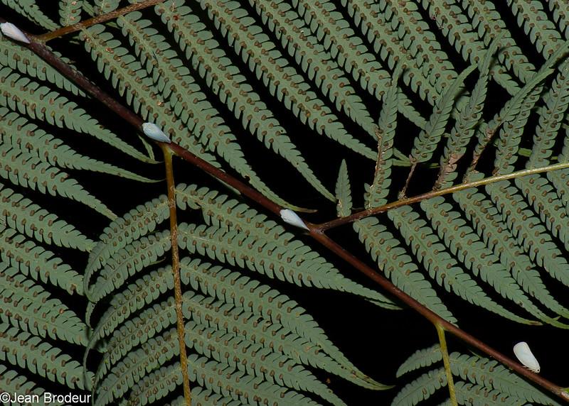 Flatid Planthopper sp. Flatidae , Fulgoroidea, Hemiptera<br /> 1391, Fraser Hill, Pahang, West Malaysia, April 10, 2016