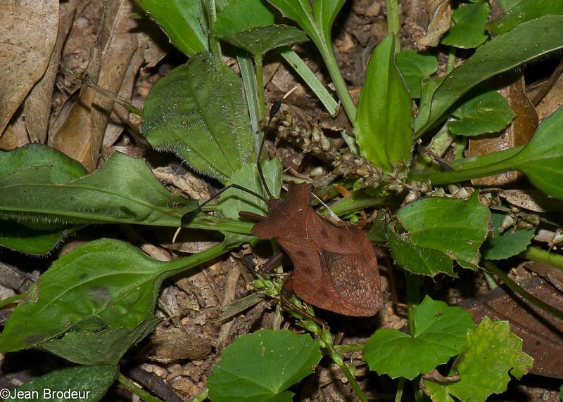 Dalader sp. Leaf-footed bug , Coreidae<br /> 1512, Fraser Hill, Pahang, West Malaysia, April 11, 2016