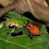 Dalader sp. Leaf-footed bug , Daladerrini,  Coreidae<br /> 3208, Gunung Mulu National Park, Sarawak, East Malaysia, April 21, 2016