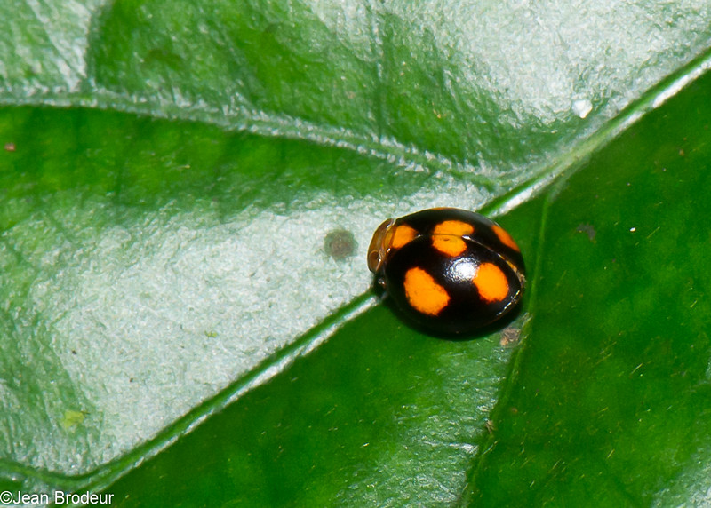Hemisphaerius sp. Pill-like planthopper, Issidae, Hemiptera<br /> 2465, Gunung Mulu National Park, Sarawak, East Malaysia, April 18, 2016