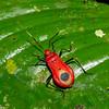 Pyrrhocoridae sp, Red bugs, Hemiptera<br /> 3159, Gunung Mulu National Park, Sarawak, East Malaysia, April 21, 2016