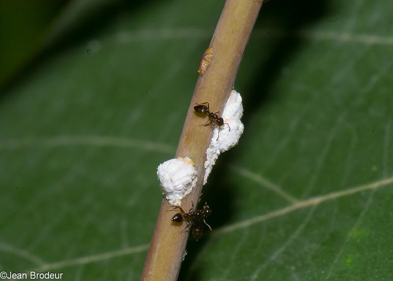 Scale Insect sp.  Cochenille de Malaysie, Coccoidea, Hemiptera<br /> 1620, Bako National Park, Sarawak, East Malaysia, April 13, 2016