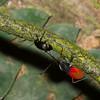 Pyrrhocoridae sp, Red bugs, Hemiptera<br /> 2539, Gunung Mulu National Park, Sarawak, East Malaysia, April 19, 2016