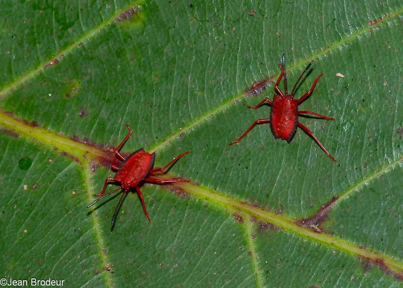 Pycanum rubens nymph , Tessaratomidae, Punaise phytophage, Giant Stink bug<br /> 3495, Miri, Sarawak, East Malaysia, April 24, 2016
