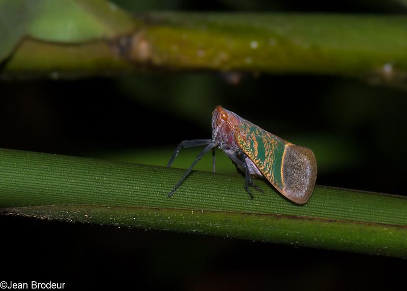 Scamandra sp. Fulgorid Planthopper, Fulgoridae, Hemiptera<br /> 3132, Gunung Mulu National Park, Sarawak, East Malaysia, April 21, 2016