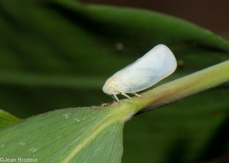Flatid Planthopper sp. Flatidae , Fulgoroidea, Hemiptera<br /> 0490, Cameron Highlands, Pahang, West Malaysia, April 7, 2016