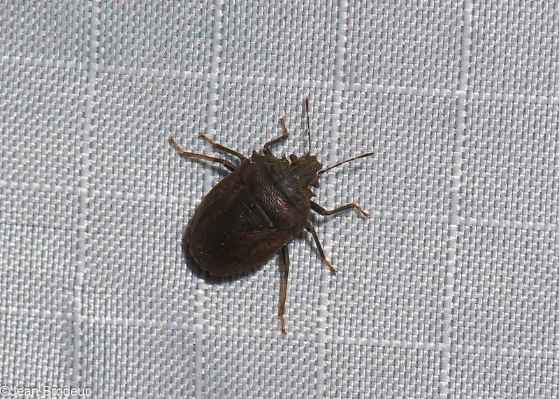 Tessaratomidae sp.<br /> 3327, Miri, Sarawak, East Malaysia, April 22, 2016