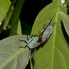 Pycanum rubens , Eusthenaria,Tessaratomidae, Punaise phytophage, Giant Stink bug<br /> 3111, Gunung Mulu National Park, Sarawak, East Malaysia, April 21, 2016