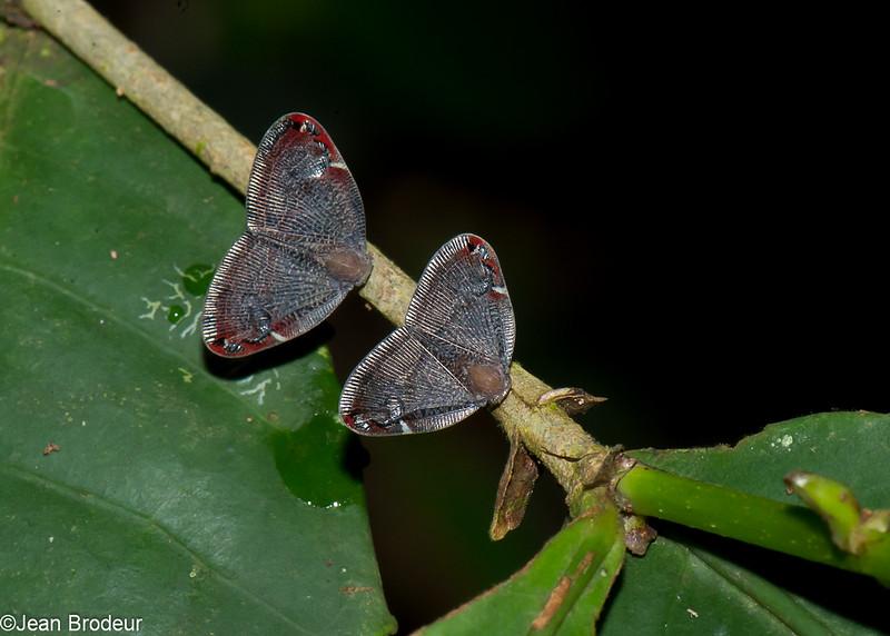 Planthopper sp. Ricaniidae, Hemiptera<br /> 3024, Gunung Mulu National Park, Sarawak, East Malaysia, April 20, 2016