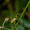Cosmolestes picticeps ,  Yellow assassin Bug, Reduviidae, Hemiptera<br /> 3019, Gunung Mulu National Park, Sarawak, East Malaysia, April 20, 2016