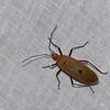 Dysdercus sp. Pyrrhocoridae, Hemiptera<br /> 0713, Cameron Highlands, Pahang, West Malaysia, April 7, 2016