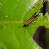Miasa nigromaculata, Planthopper, Dictyopharidae, Fulgoromorpha, Hemiptera<br /> 2680, Gunung Mulu National Park, Sarawak, East Malaysia, April 19, 2016
