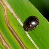 Brachyplatys subaenus, Shield bug, Plataspidae<br /> 2741, Gunung Mulu National Park, Sarawak, East Malaysia, April 19, 2016