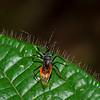 Reduviidae sp. Assassin Bug<br /> 1752, Bako National Park, Sarawak, East Malaysia, April 13, 2016