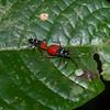 Pyrrhocoridae sp, Red bugs, Hemiptera<br /> 2248, Gunung Mulu National Park, Sarawak, East Malaysia, April 18, 2016