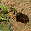 Planthopper sp. Hemiptera<br /> 3172, Gunung Mulu National Park, Sarawak, East Malaysia, April 21, 2016