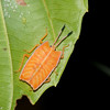 Pycanum rubens nymph , Tessaratomidae, Punaise phytophage, Giant shield bug<br /> 3498, Miri, Sarawak, East Malaysia, April 24, 2016