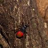 Pyrrhocoridae sp, Red bugs, Hemiptera<br /> 2454, Gunung Mulu National Park, Sarawak, East Malaysia, April 18, 2016